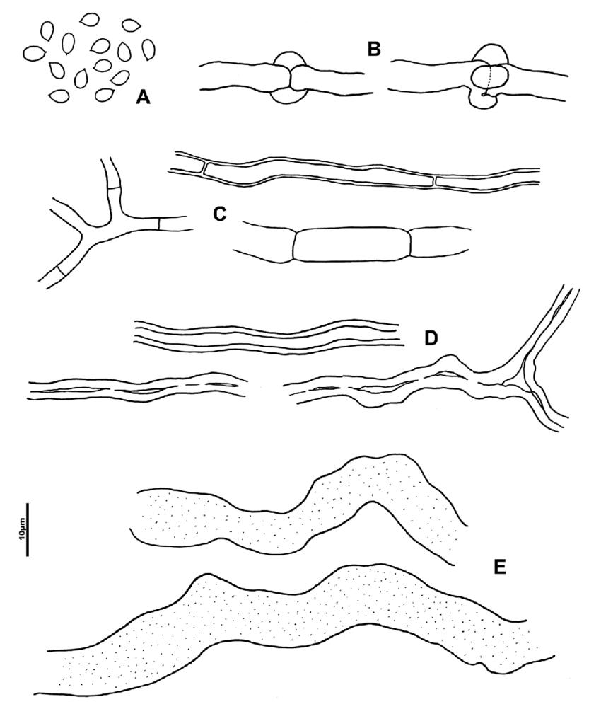 medium resolution of wrightoporia bracei a basidiospores b generative hyphae with verticillate clamps c
