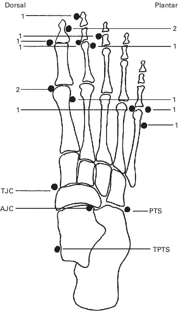 anatomical diagram of foot