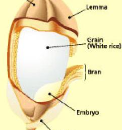 the rice grain source irri  [ 850 x 1164 Pixel ]