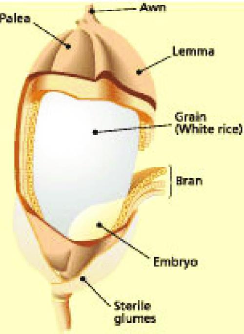 small resolution of the rice grain source irri