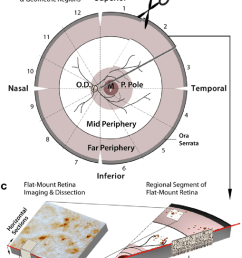 schematic diagram of donor eye dissection retinal isolation and tissue processing for histological analysis a anterior chamber extraction from human  [ 850 x 1784 Pixel ]