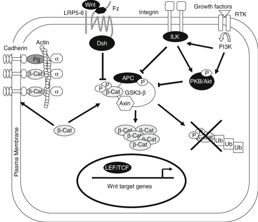 Schematic representation of Wnt/ b-catenin/TCF signaling