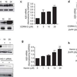 Regulation of LPS-induced inflammation by CO in RAW264.7