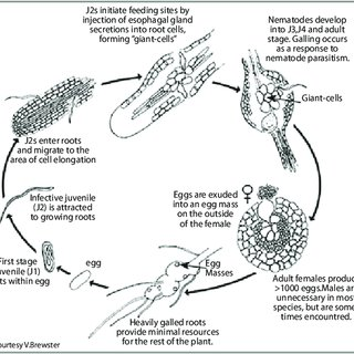 2a Life cycle of the root-knot nematode Meloidogyne spp