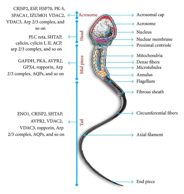 parts of a cell diagram two speed starter wiring showing mature human spermatozoon with its different previously published studies were used as reference to summarize the list