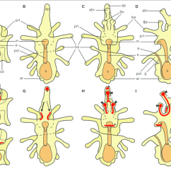 Starfish Anatomy Diagram Freightliner Radio Wiring Schematic Diagrams Of The General Asterias Rubens Larvae Modified After Murabe Et Al 2008 Top Half And Main Neuronal