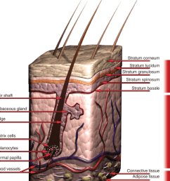schematic of the structure of human skin the epidermis consists of five thin layers with the outmost layer the stratum corneum largely providing the  [ 850 x 1012 Pixel ]