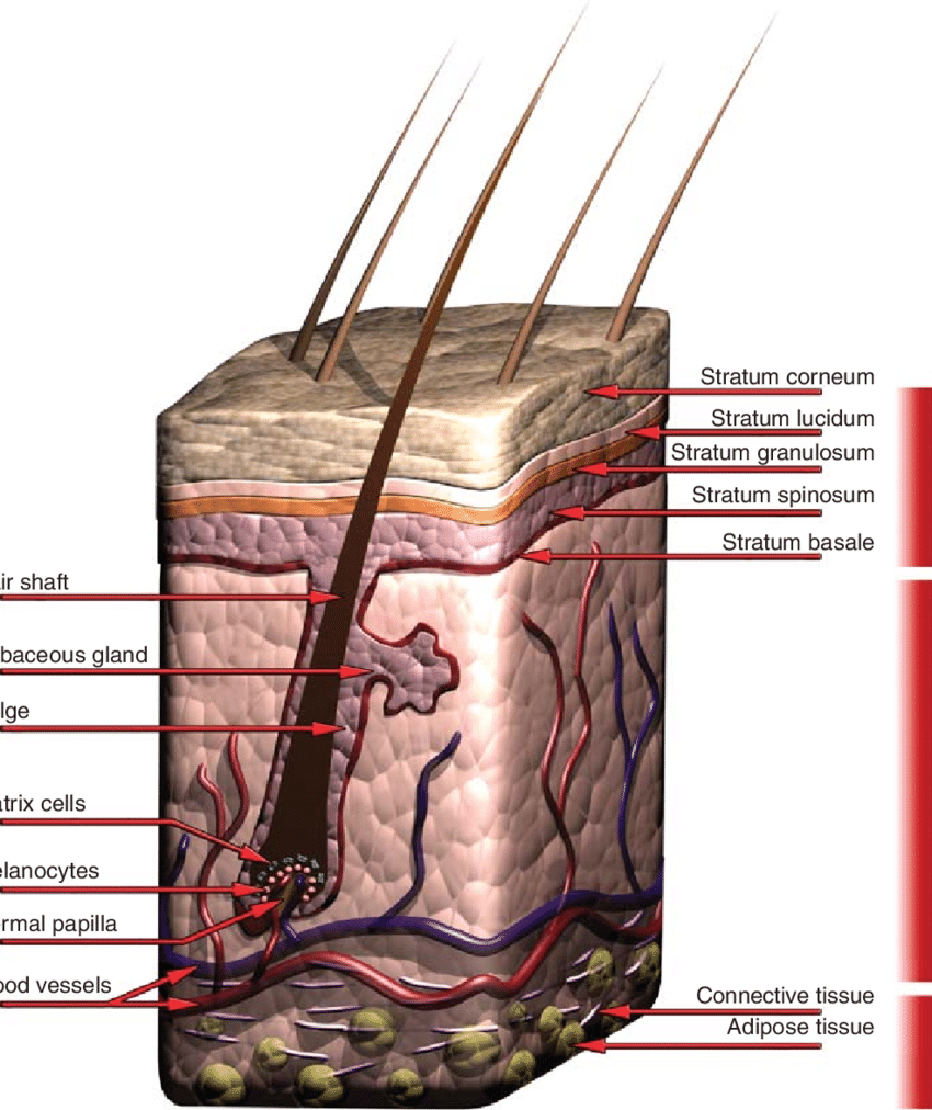hight resolution of schematic of the structure of human skin the epidermis consists of five thin layers with the outmost layer the stratum corneum largely providing the