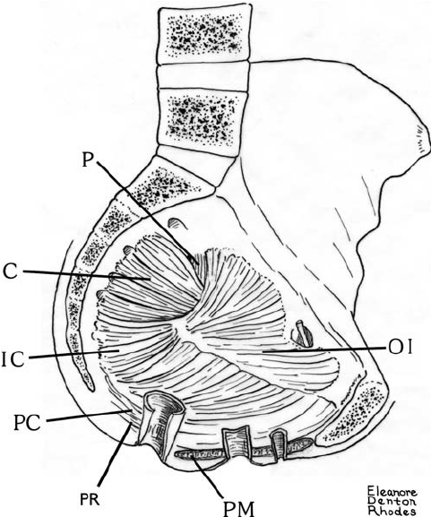 The pelvic anatomy of the female gibbon, the most upright