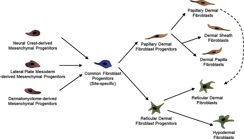 Schematic model depicting the developmental heterogeneity