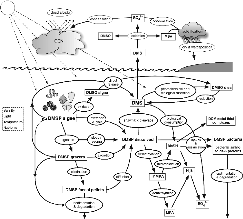 Simplified reaction chain for DMS production in sea