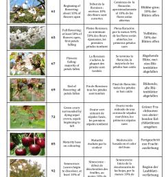 developmental stages for cherry he ne christmann inra  [ 850 x 996 Pixel ]