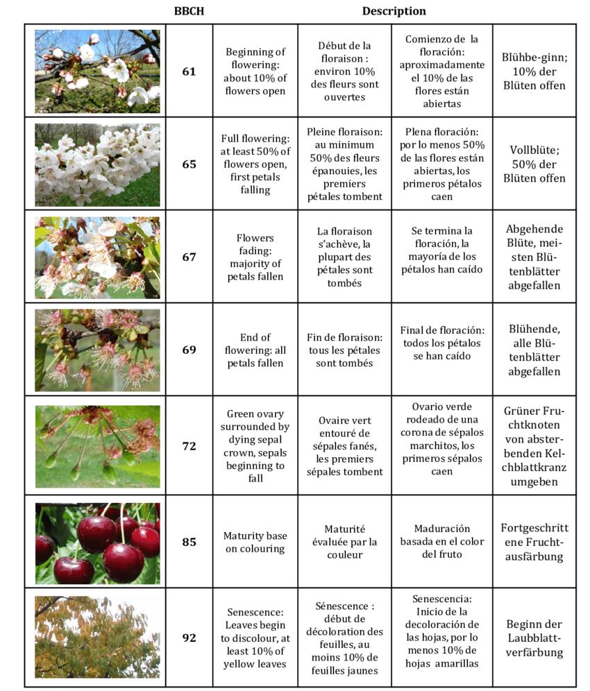 medium resolution of developmental stages for cherry he ne christmann inra