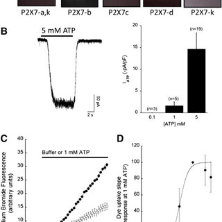 Evidence for P2X7 receptor expression by siRNA knockdown