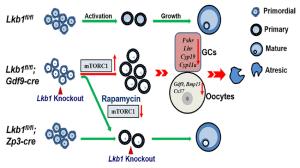 Schematic diagram of follicular development in Lkb1 flfl , Lkb1 flfl   Download Scientific