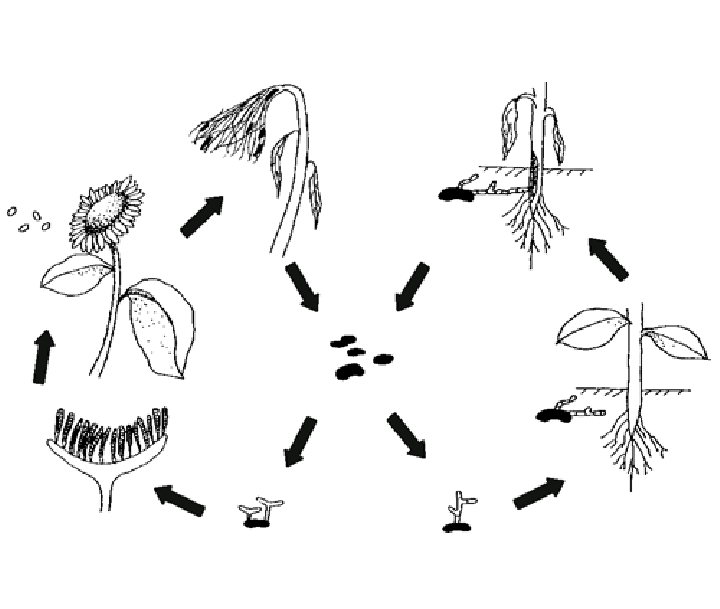 Life cycle of Sclerotinia sclerotiorum and S. minor on