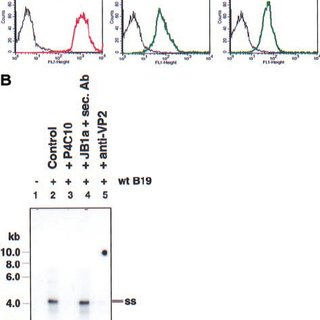 A model for parvovirus B19 binding and entry into primary
