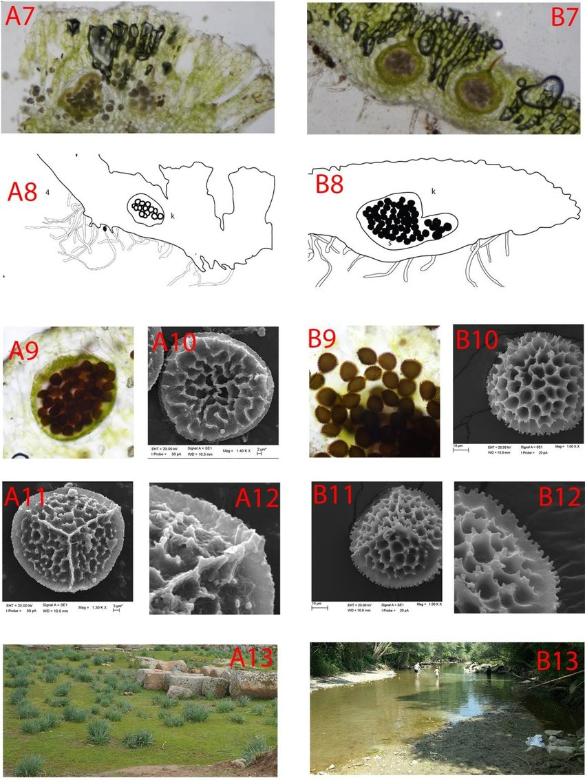 hight resolution of reproductive differences between riccia cavernosa and riccia crystallina