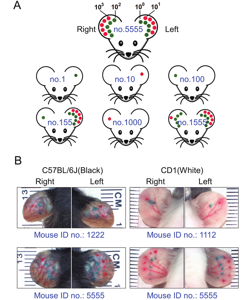 hight resolution of an ear tattooing method independent of cage number for labeling adult mice a