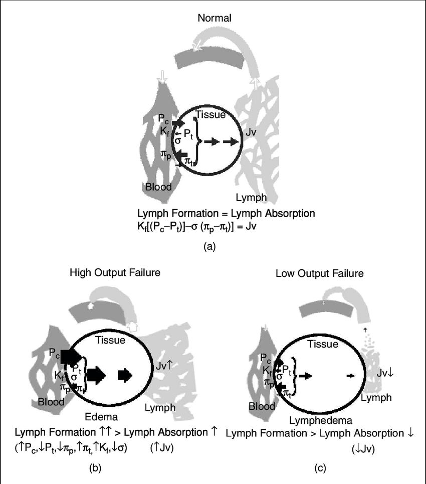 medium resolution of starling equilibrium of capillary filtrate tissue fluid lymph dynamics download scientific diagram