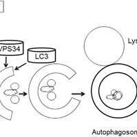 (PDF) Regulation of autophagy by protein post