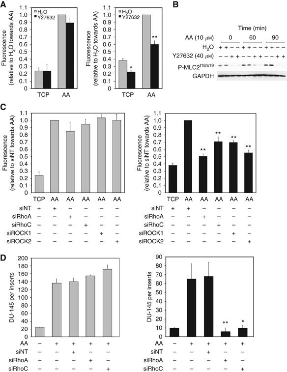 Rho signalling controls transendothelial migration towards