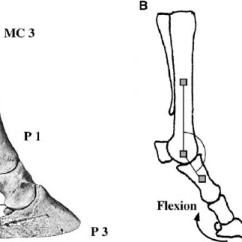 Horse Skeleton Diagram Labeled Receptacle Split Circuit Anatomy Of The Distal Forelimb A Fetlock Joint Is Download Scientific