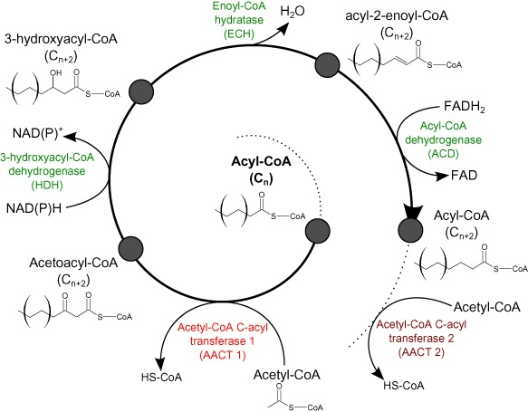 Proposed scheme of archaeal fatty acid biosynthesis.The