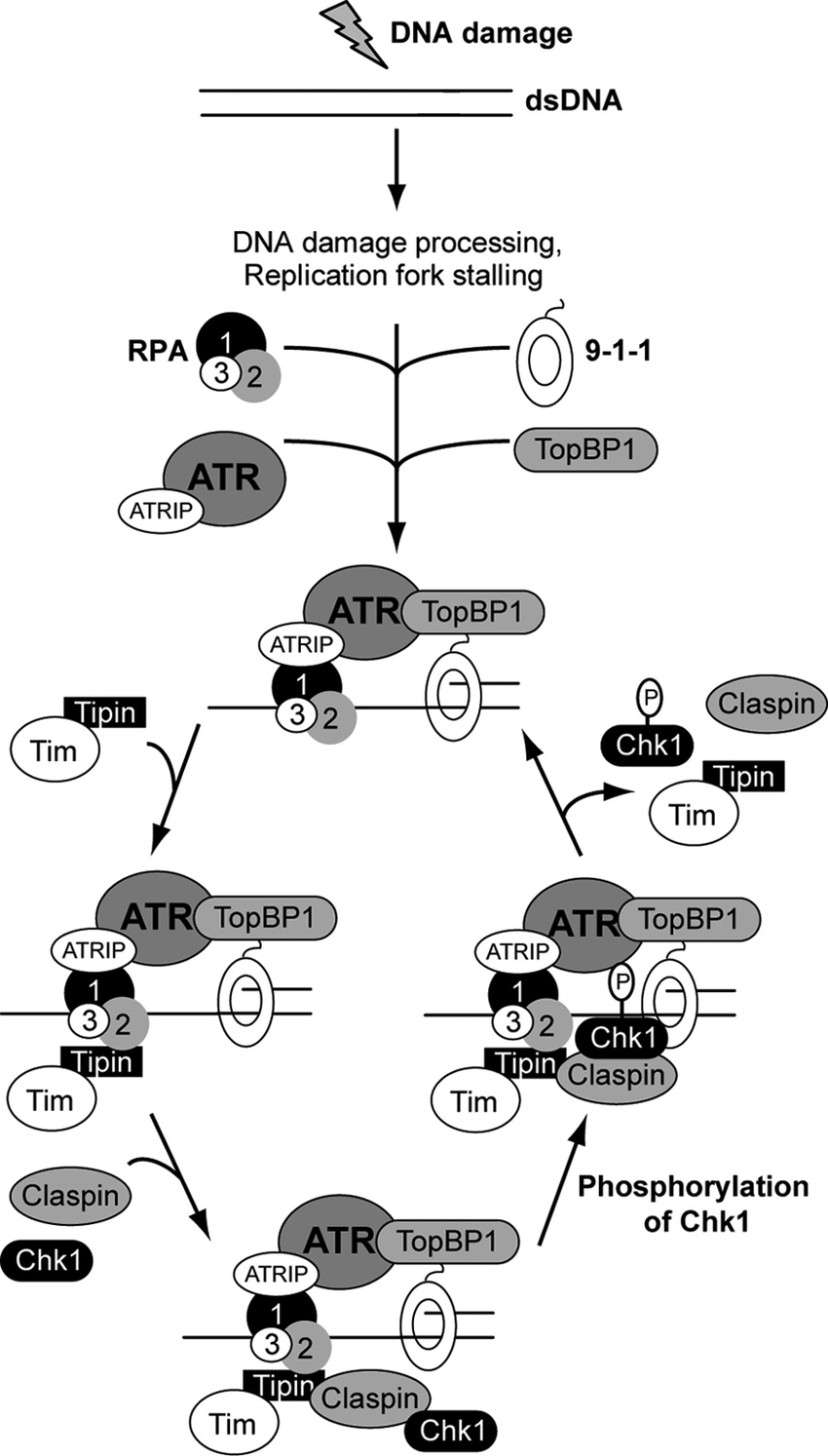 Model for Tipin function in ATR-Chk1 signaling. In