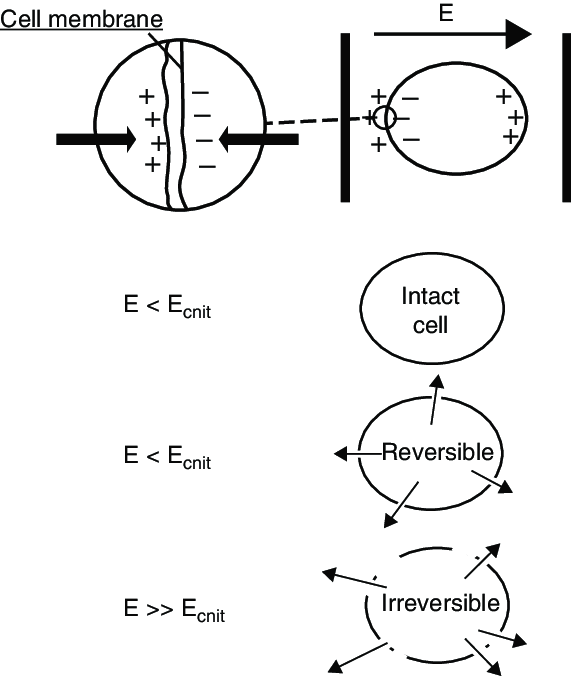 PEF works through electroporation of the cell membrane in