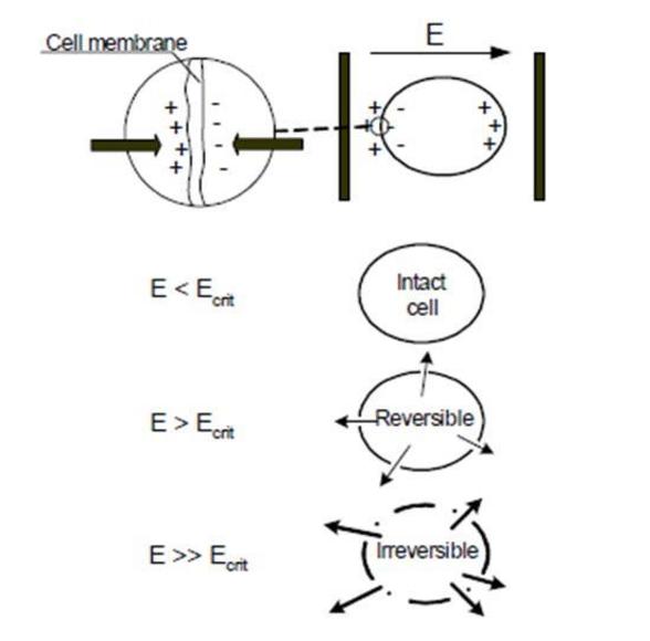 Simplified Pulsed Electric Field (PEF) mechanism at work