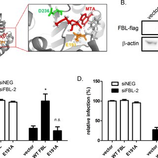 The catalytic activity of FBL is required for HeV
