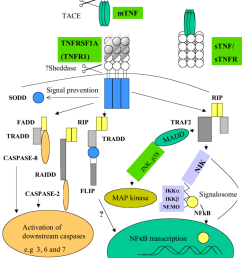 schematic representation of cell death apoptotic and cell survival rh researchgate net cell structure diagram plant cell [ 850 x 1092 Pixel ]