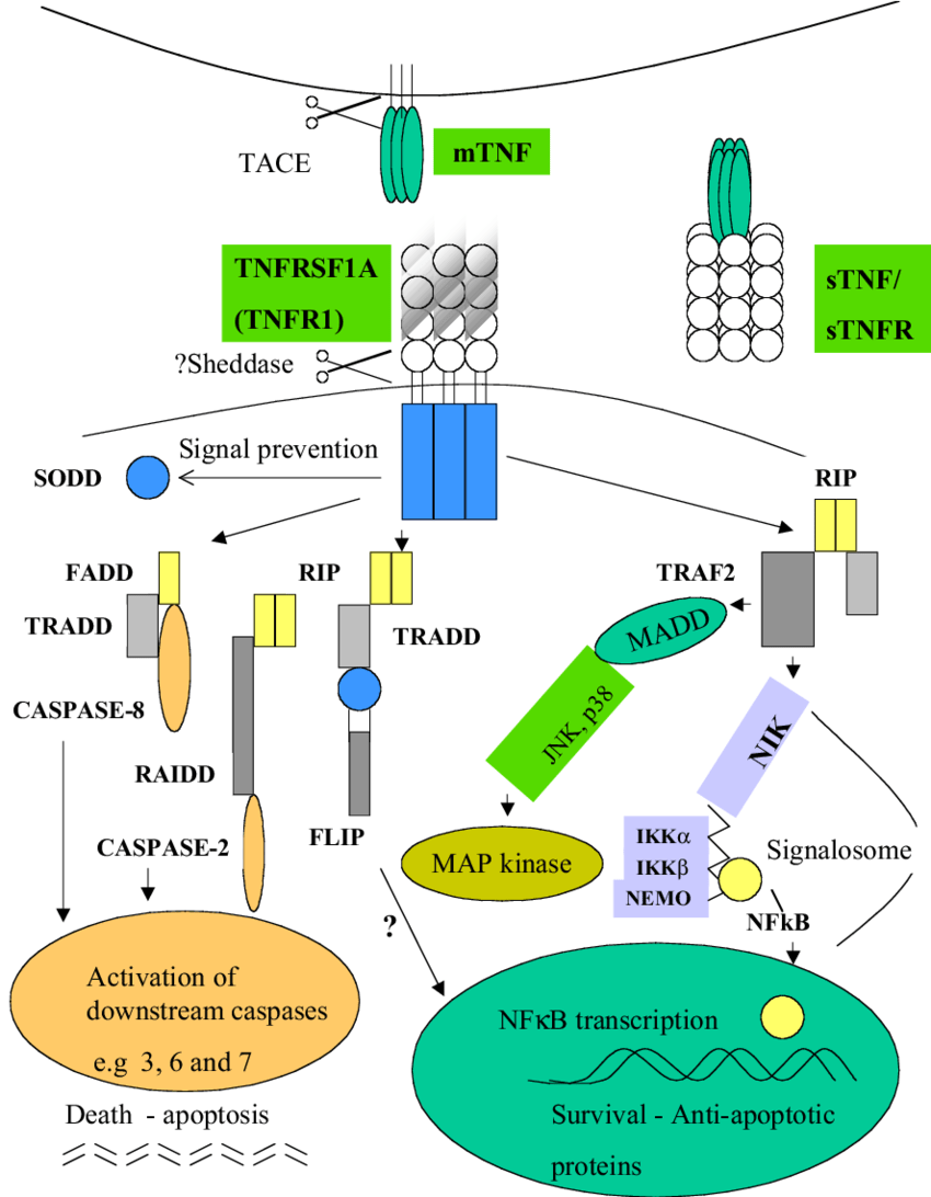 medium resolution of schematic representation of cell death apoptotic and cell survival rh researchgate net cell structure diagram plant cell