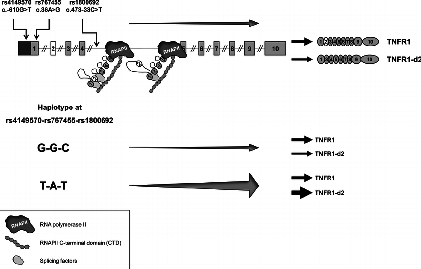 Schematic model representing coupled transcriptional and