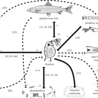 Idealized interaction web for Daphnia in a lake ecosystem