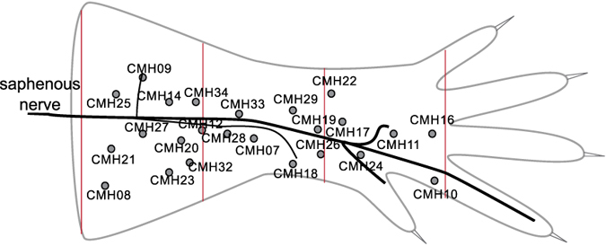 Schematic of hind-limb skin of mouse and anatomical