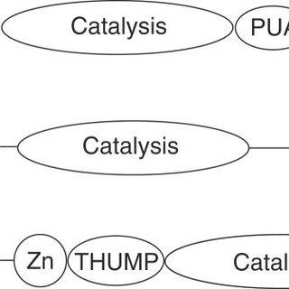 Domain organization of Cbf5 and Pus10. Schematic