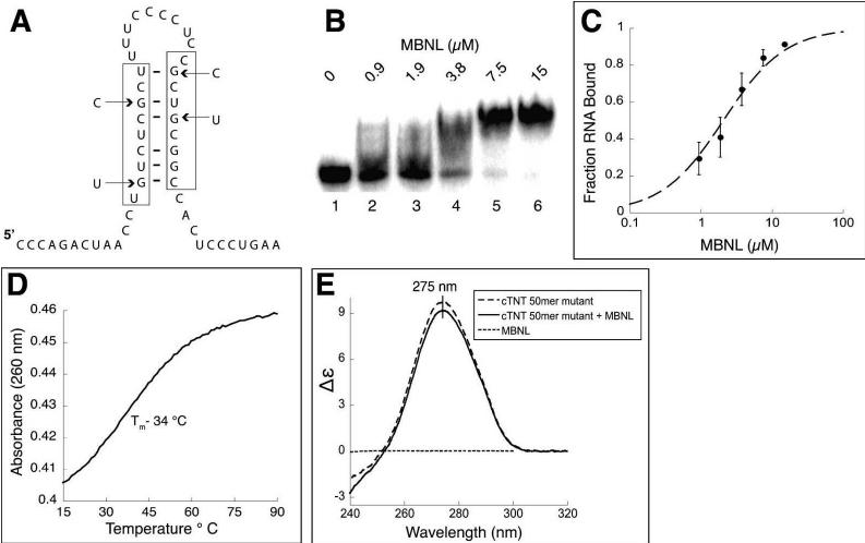 Four point mutations destabilize the stem in the cTNT