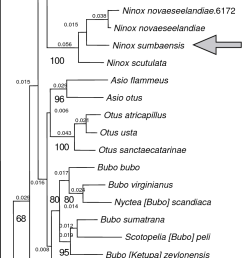 phylogenetic relationships of the little sumba hawk owl download scientific diagram [ 723 x 1473 Pixel ]