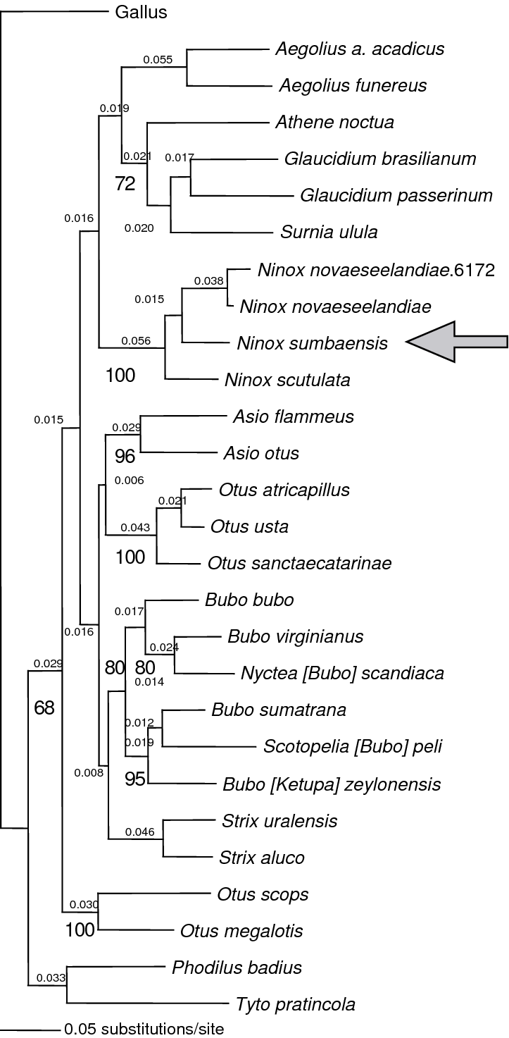 medium resolution of phylogenetic relationships of the little sumba hawk owl download scientific diagram