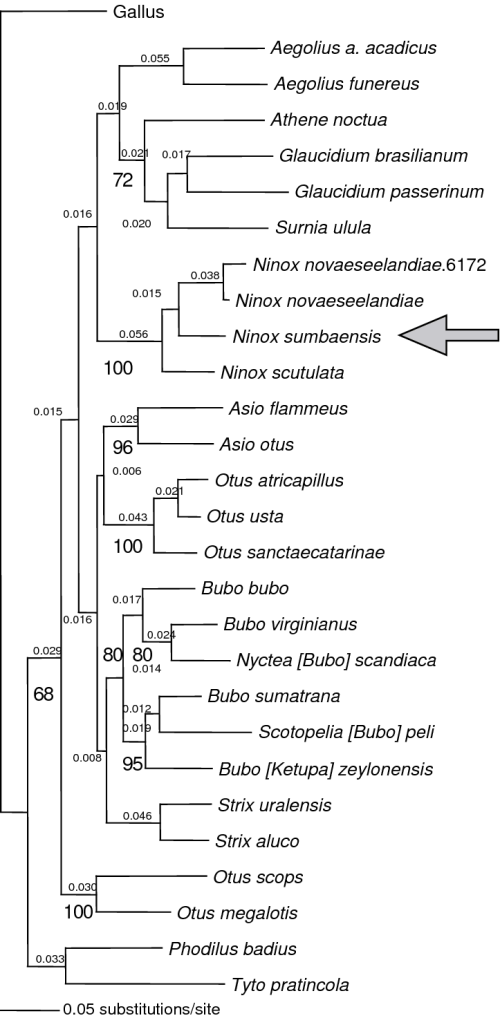 small resolution of phylogenetic relationships of the little sumba hawk owl download scientific diagram