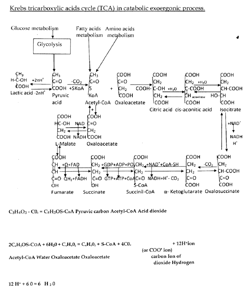 hight resolution of krebs tricarboxylic acids cycle tca in catabolic exoergonic process download scientific diagram