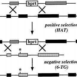 Introduction of a point mutation using the Cre–Lox P