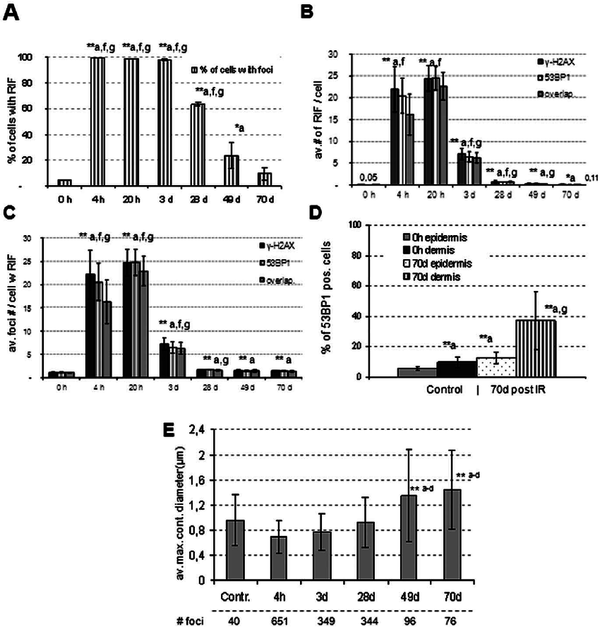 DNA damage response in epidermis sections of 140 m m unit