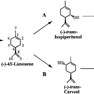 Pathways for monoterpene biosynthesis in peppermint (A