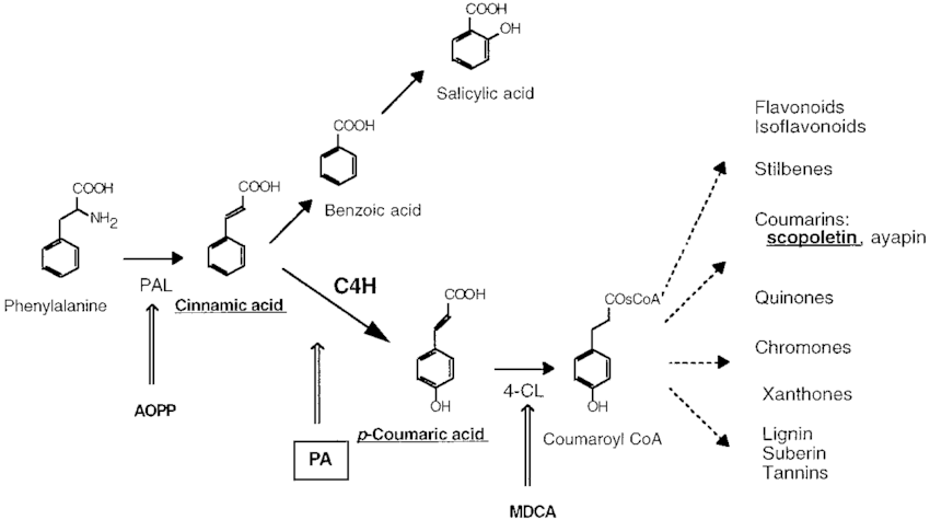 Branching and inhibitors of the phenylpropanoid pathway