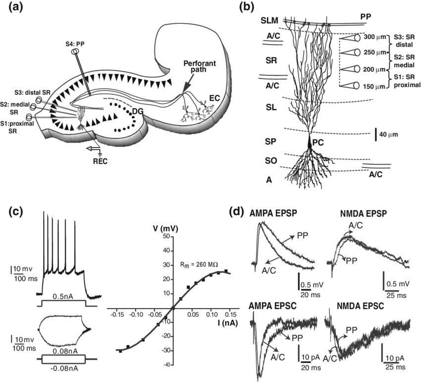 bipolar cells diagram