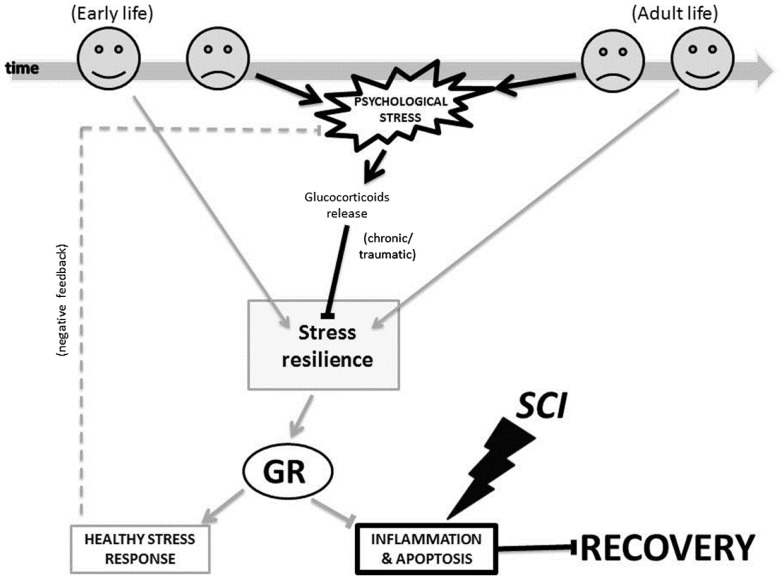 The glucocorticoid receptor mechanism proposed for how