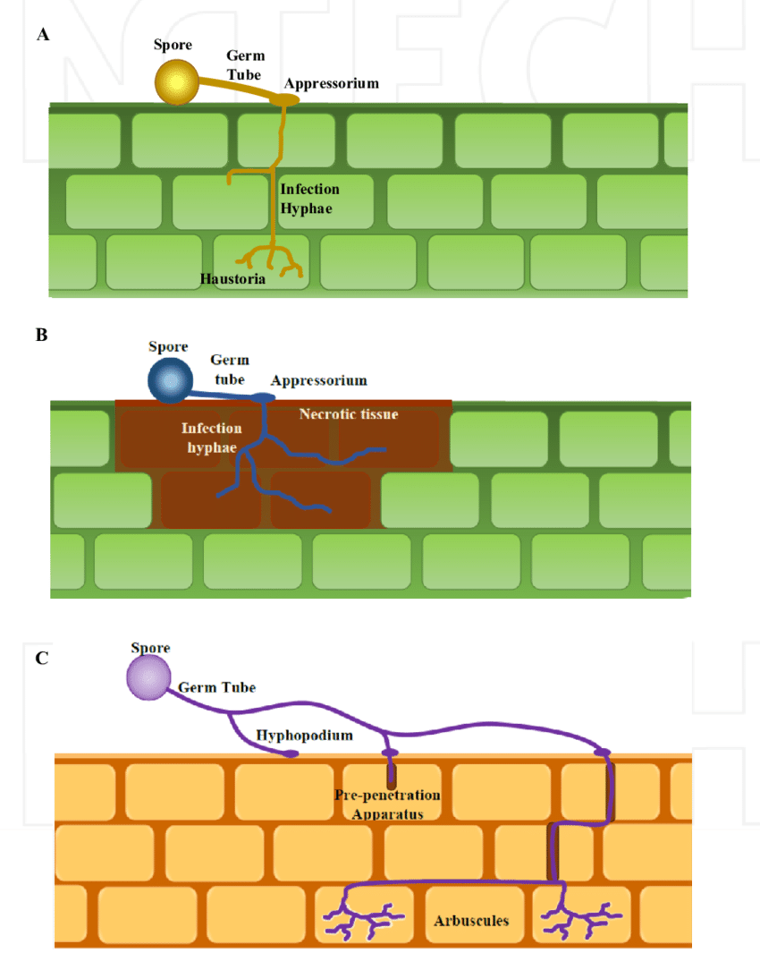 medium resolution of generalized diagram of infection and colonization patterns of a biotrophic pathogens b necrotrophic
